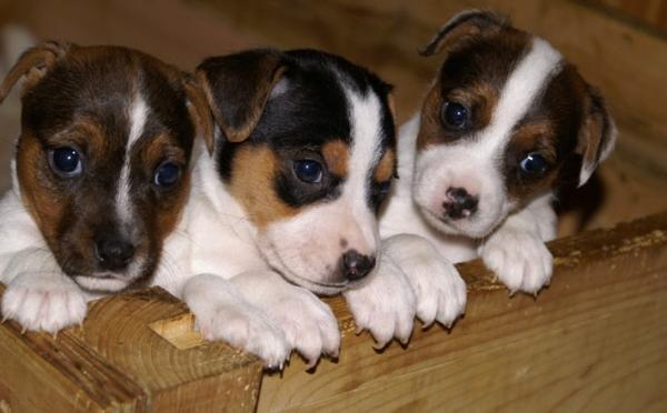 jack russel mischlinge in berlin hunde kaufen und