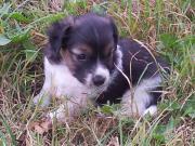 Jack-Russell Terrier