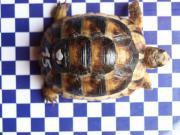Junge Breitrandschildkröten Testudo