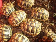 Junge Landschildkröten