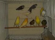 Kanarienvogel verkaufen 2.