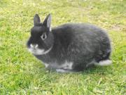 Kaninchen: Farbenzwerg (weißgrannen-