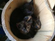 Katzenbabies abzugeben