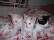 Katzenbabys abzugeben ab