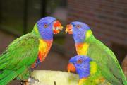 Kaufe Papageien...