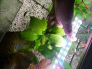 Kleiner grüner Froschlöffel