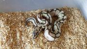 Königspython- Python Regius