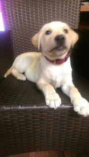 Labrador-Dogge-Mix