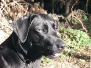 Labrador gesucht für
