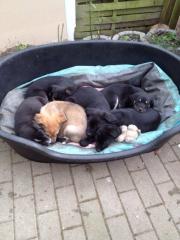 Labrador Mischlingswelpen