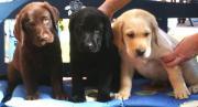 Labrador Welpen braun,