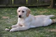 Labradorwelpen in blond,