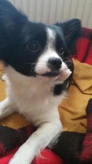Langhaar Chihuahua schwarz/