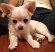 Lebenslustiger Chihuahua Welpe