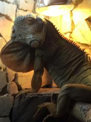 Leguan Männchen abzugeben