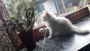 Main-Coon-Kitten