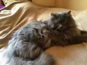 Maine Coon - Perser -