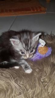Meine Conn Kitten