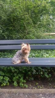 Mini Yorkshire Terrier