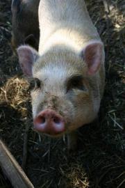 Minischweine von geprüfter