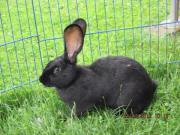 Morle, schönes Kaninchen