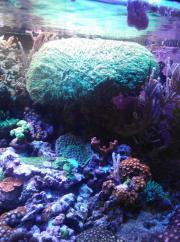 Mutterstock xxl Koralle