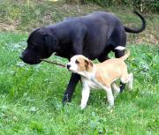 Old English Bulldog-