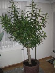 Oleander 2m