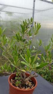 Olive mediterane Pflanze