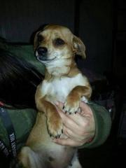 Piroska, Chihuahua Dackel