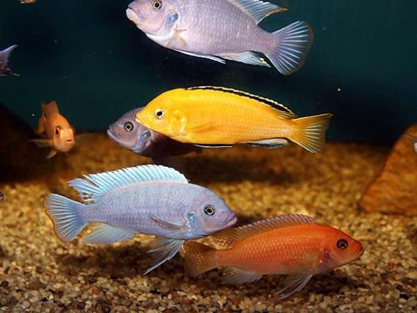 Pseudotropheus red blue in klaus fische aquaristik for Zierfische barsch