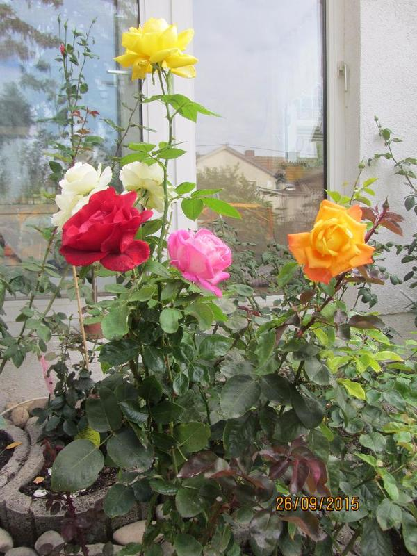 rosen mit verschiedenen bl tenfarben auf einer pflanze in wiesbaden pflanzen kaufen und. Black Bedroom Furniture Sets. Home Design Ideas