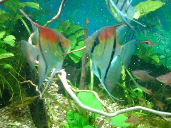Skalar kleinanzeigen aquarium fische zubeh r deine for Fadenfische zucht
