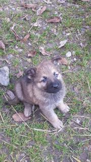 Schäferhund / tschechisch-slowakischer