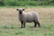 Schafe, reinrassige Shropshireschafe