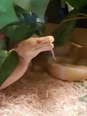 Schlangen Königspyton