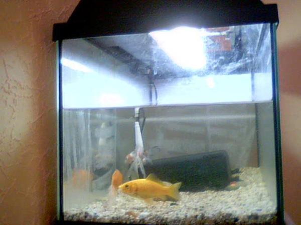 Schleierschwanz goldfisch kleinanzeigen tiermarkt for Japanische teichfische