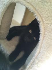 schwarze Babykatze zu