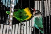 Schwarzköpfchen Papageien Paar
