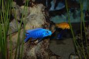Scianochromis ahli Fryeri