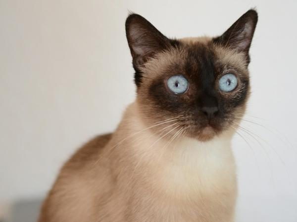 Thai Katzen