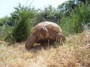 Spornschildkröte (Centrochelys sulcata)