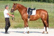 Sportpferd / Dressurpferd - bildschöne