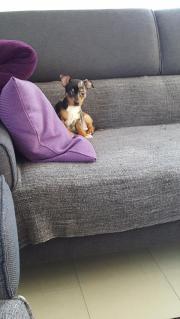 Süßer Chihuahua Rüde.