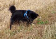 Teddy, Aussie-Spitz-