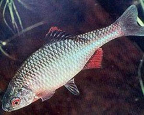 Goldfische kleinanzeigen aquarium fische zubeh r for Teichfische schwarz