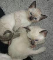 Thai Baby Kitten
