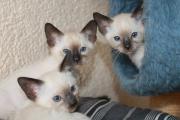 typvolle Siamesen Kitten,