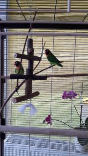 Unzertrennliche Vögel