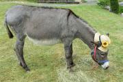 Verkaufe meine Eselstute
